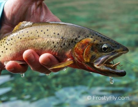 Beautiful trout caught on a realistic hopper