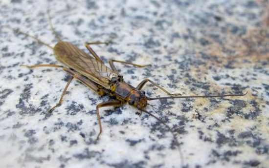 Golden Stonefly, photo by Daniel Byrne