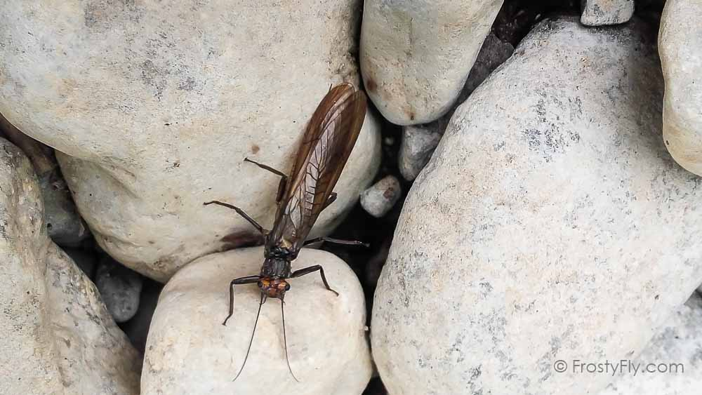 Stonefly Life Cycle: Stonefly adult on a rock