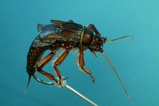 Paul Whillock' Stonefly Nymph, Photo by Hans Weilenmann