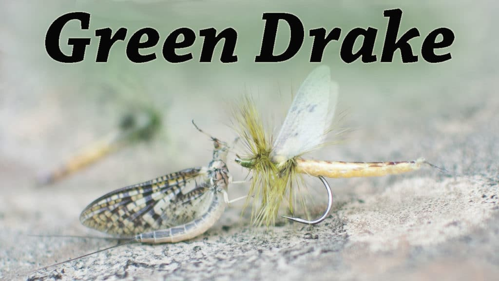 Green Drake Mayfly by Kevin Hospodar