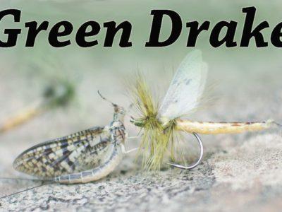Green Drake Mayfly by Kevin Hospodar