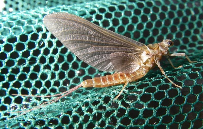 Ephemerella Subvaria - Hendrickson Mayfly