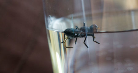 Realistic Black Ant fly floating the water