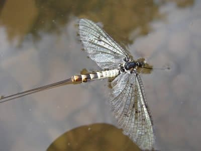 spent mayfly showing wing orientation for a blog article on fly tying
